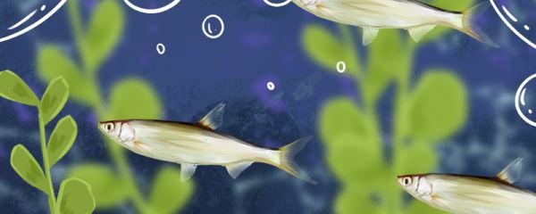 白条鱼一年繁殖几次,几月份繁殖