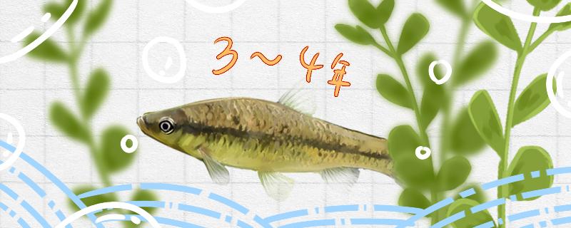 麦穗鱼能活多久,能养在鱼缸里吗