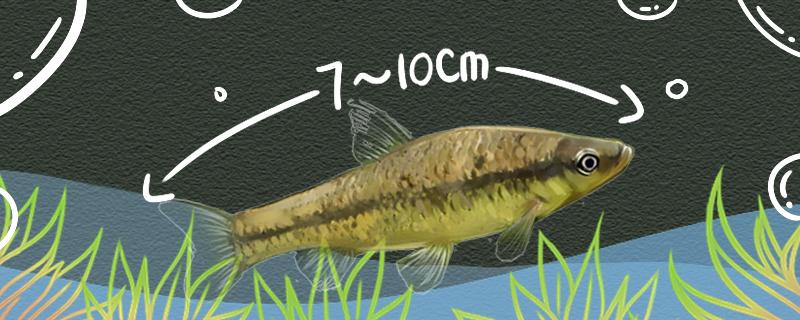 麦穗鱼能长多大,多大可以繁殖