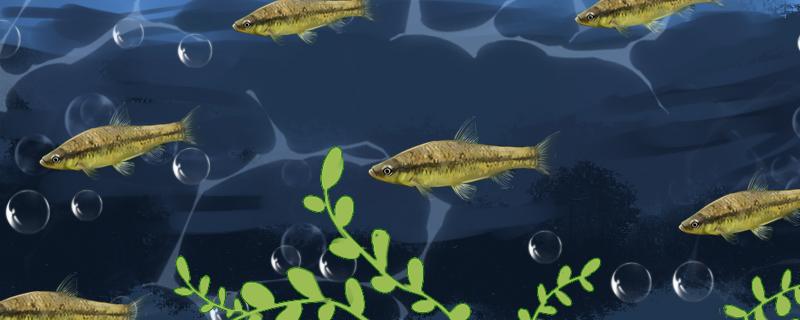 麦穗鱼的养殖技术,麦穗鱼的养殖技巧
