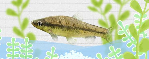 麦穗鱼几月份繁殖,一年繁殖几次