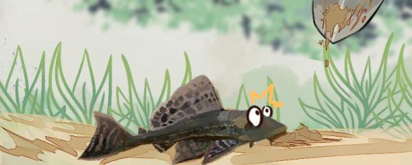 清道夫鱼为什么要活埋,为什么不能放生