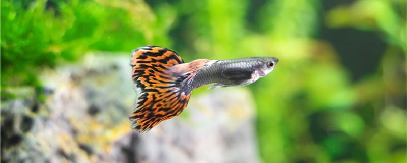 孔雀鱼生产完有什么特征,怎么判断生完了