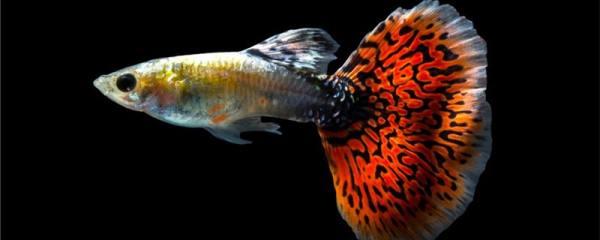 孔雀鱼刚生的小鱼怎么养,吃什么