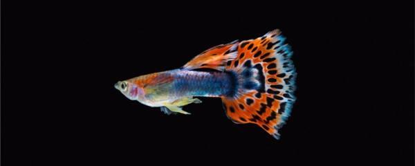 孔雀鱼怀孕多久生小鱼,小鱼一个月能长多大