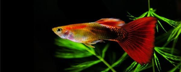 孔雀鱼如何喂养长得快,吃什么长得快