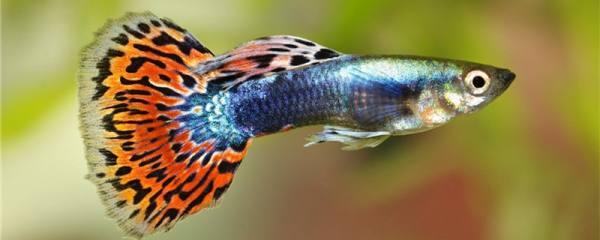 孔雀鱼小鱼怎么养,多久能长大