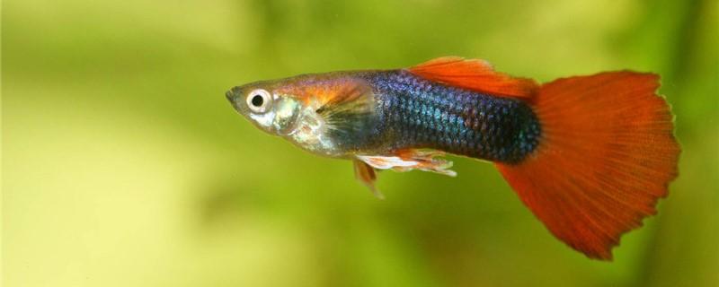 孔雀鱼尾巴褪色变透明是什么原因,怎么治疗