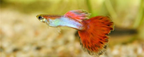 孔雀鱼好养吗,怎么养不容易死