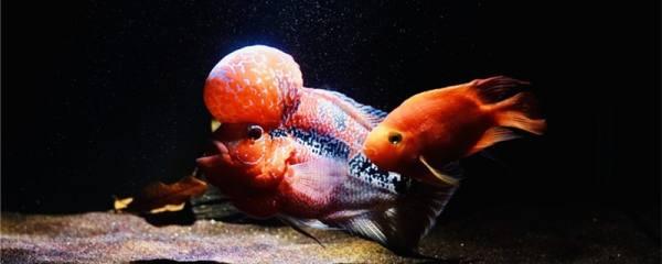 罗汉鱼水温度多少最佳,最低水温是多少