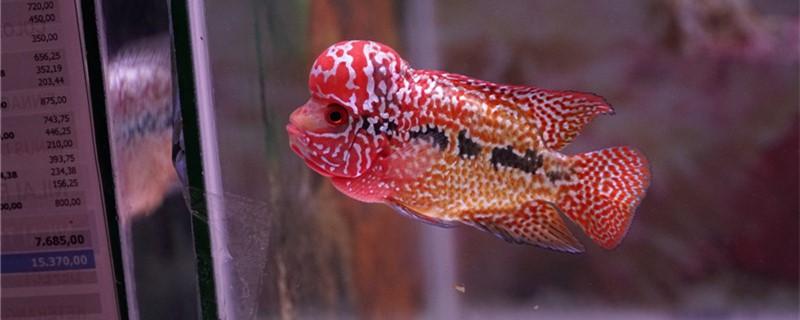 罗汉鱼能长多大,寿命是多长