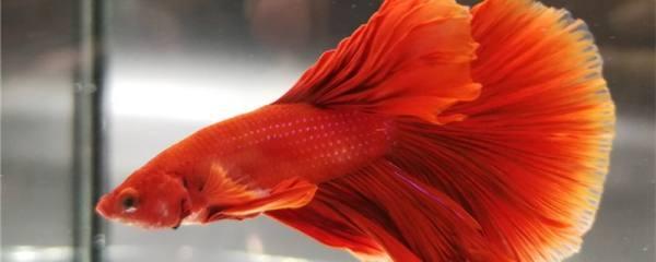斗鱼是冷水鱼还是热带鱼,用多少度的水养好