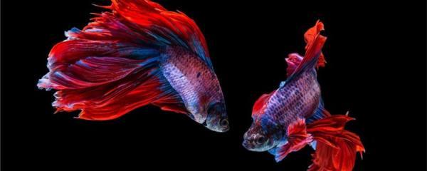 斗鱼是什么鱼,适合在家养吗