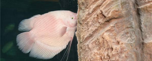 招财鱼吃食又吐出来是怎么回事,怎么治疗