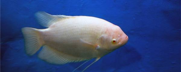 招财鱼眼睛上有白膜是怎么回事,怎么治疗
