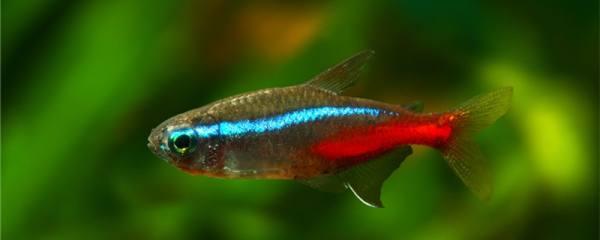 红绿灯鱼怎么繁殖,多大可以生小鱼