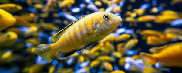 三湖慈鲷多大可以繁殖,多久繁殖一次