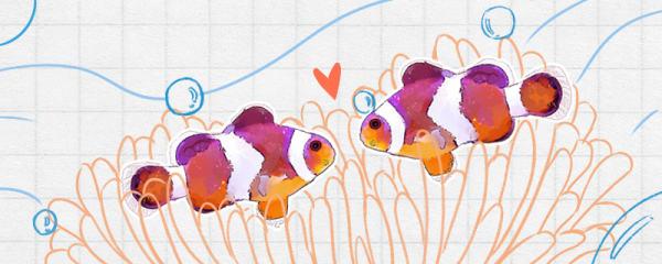 小丑鱼的特点是什么,有什么作用
