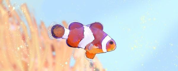 野生的小丑鱼吃什么,生活在多深的海里