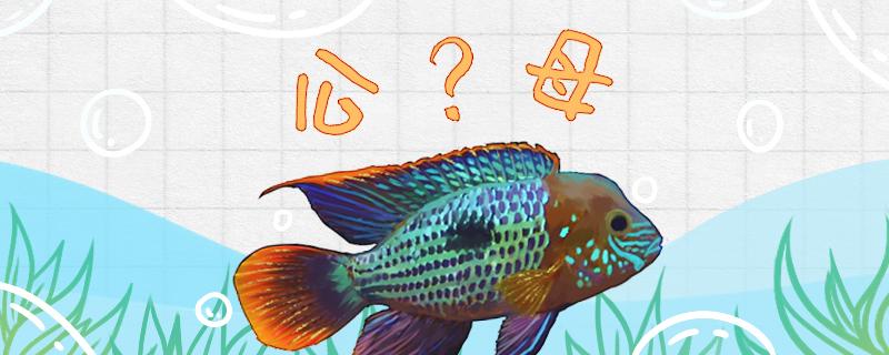 红尾皇冠鱼怎么分公母,如何进行繁殖