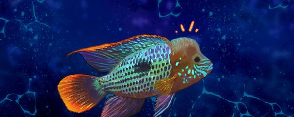 红尾皇冠鱼怎么养起头,雌鱼能起头吗