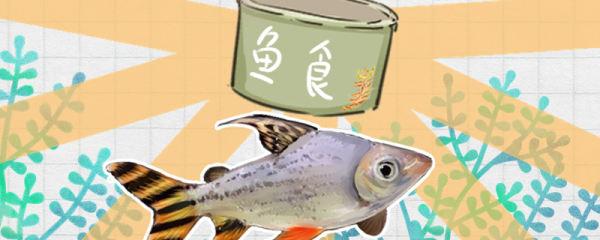 飞凤鱼吃什么,多久喂一次