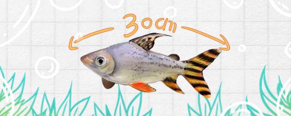 飞凤鱼能长多大,能活几年