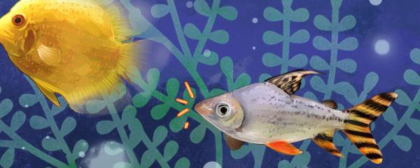 飞凤鱼吸鱼怎么办,如何防止飞凤鱼吸鱼