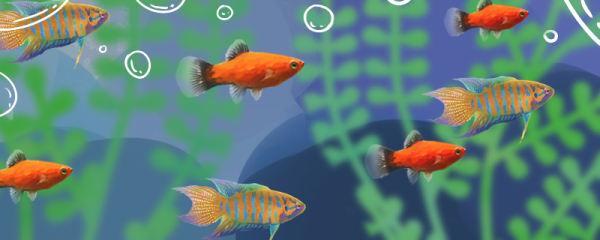 中国斗鱼可以和什么鱼混养,可以和金鱼混养吗
