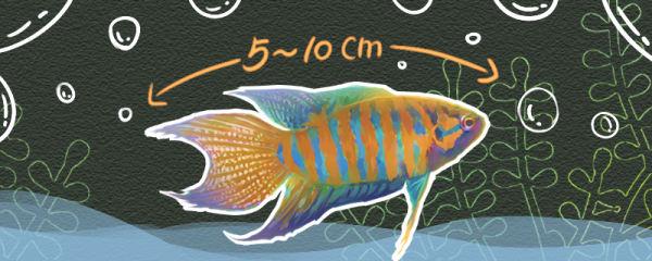 中国斗鱼能长多大,能活多长时间