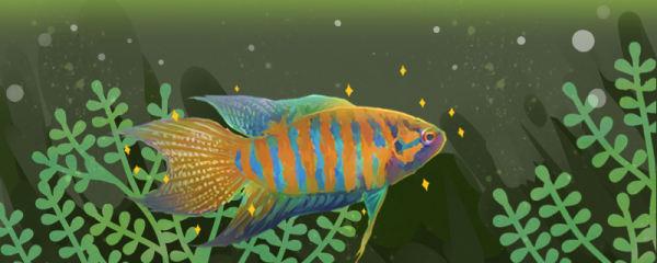 中国斗鱼如何快速变色,吃什么变色快