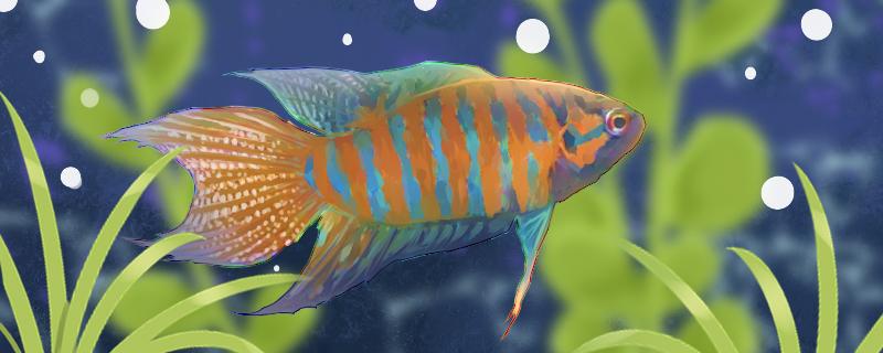 中国斗鱼寿命多少年,多大可以产卵