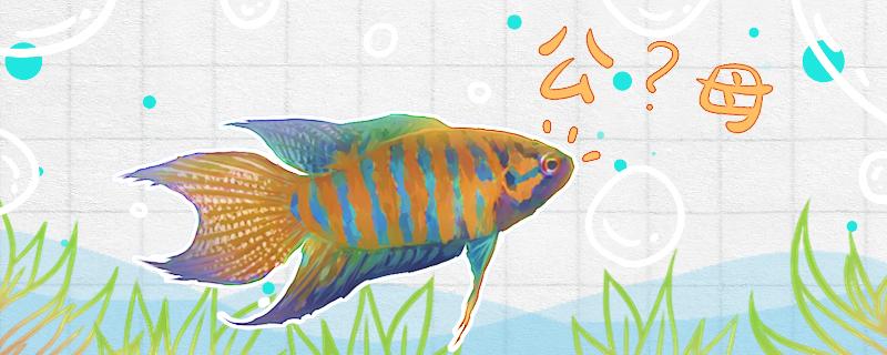 中国斗鱼怎么分辨公母,公母能一起养吗