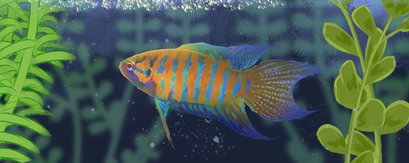 中国斗鱼怎么养出颜色,用什么底沙起色