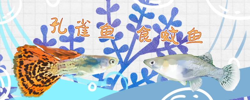 食蚊鱼和孔雀鱼有什么区别,可以混养吗