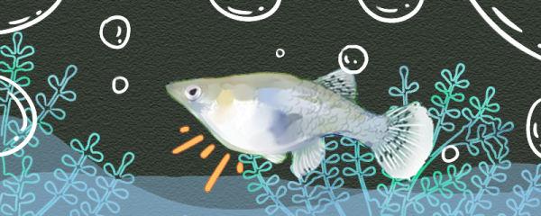食蚊鱼什么时候生小鱼,生小鱼的前兆是什么