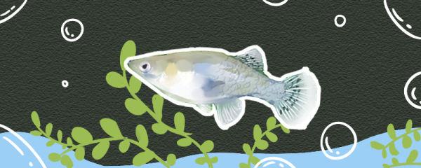 食蚊鱼寿命多长,能长多大
