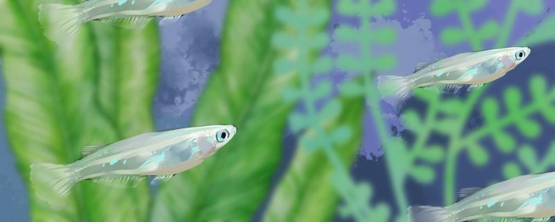 青鳉鱼多久繁殖一次,怎么繁殖