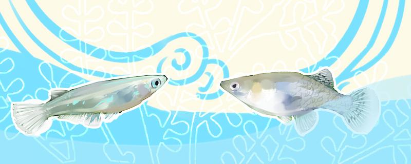 青鳉鱼和食蚊鱼有什么区别,可以混养吗