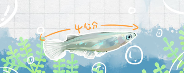 青鳉鱼能长多大,能活多久