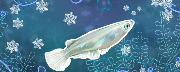 青鳉鱼是冷水鱼吗,怕冷吗