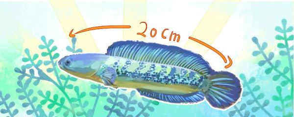 雷龙鱼能长多大,能活多久