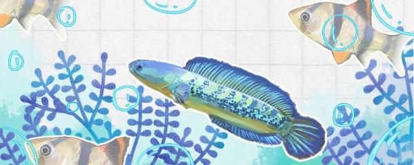 什么鱼可以和雷龙混养,雷龙鱼可以和龟混养吗