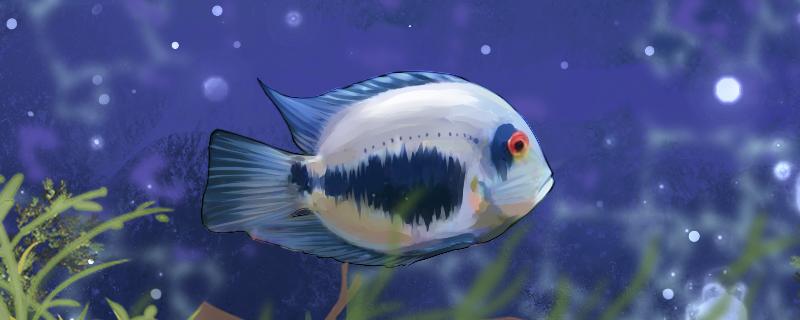 黑云鱼好养吗,怎么养