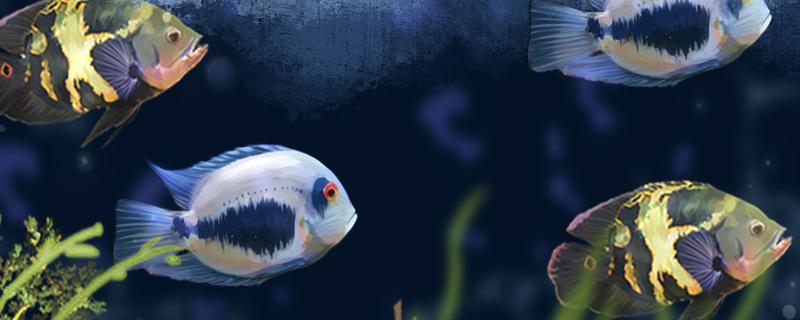 黑云鱼能和什么鱼混养,能和龙鱼混养吗