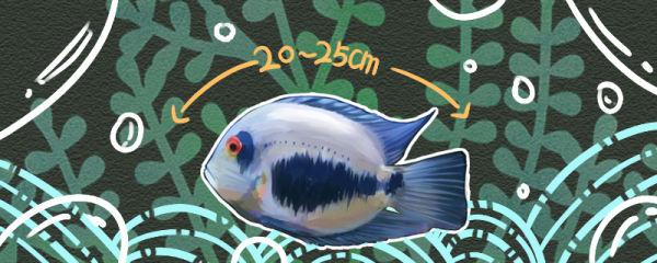黑云鱼能长多大,能活几年