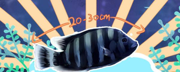 十间鱼能长多大,能活多久