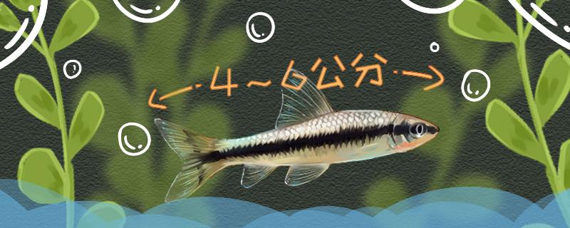 小精灵鱼能长多大,能活几年