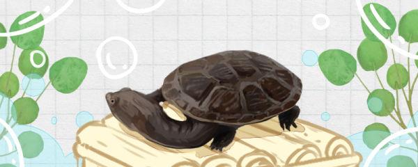蛇颈龟怎么养,水温多少合适