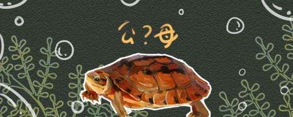 金钱龟怎么分公母,公母可以放在一起养吗